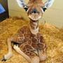 giraffelove4life