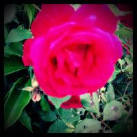 pinkrose16