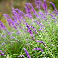 purplesagedesignz